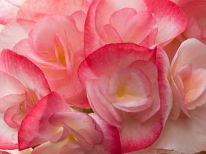 Close Up of a Cluster of Begonia Flowers, Begonia Species by Darlyne A. Murawski