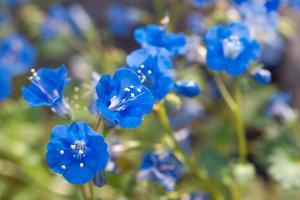 Close Up of a Cluster of Desert Bluebell Flowers, Phacelia Campanularia by Darlyne A. Murawski