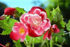 Close up of a cluster of Picotee begonia flowers. by Darlyne A. Murawski