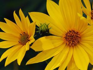 Close Up of a Cluster of Yellow Daisies by Darlyne A. Murawski