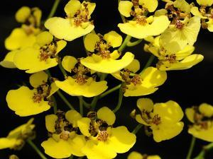 Close Up of a Cluster of Yellow Oncidium Orchid Flowers by Darlyne A. Murawski