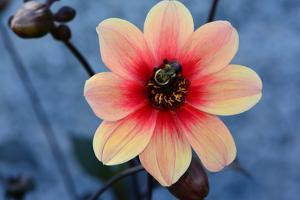 Close up of a dahlia flower with a bumblebee. by Darlyne A. Murawski