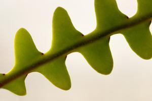 Close Up of a Fishbone Cactus Branch, Epiphyllum Anguliger by Darlyne A. Murawski