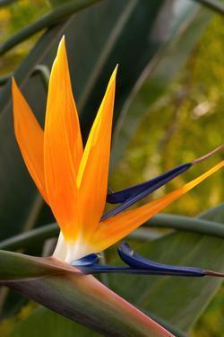 Close Up of a Flowering Bird of Paradise Plant, Strelitzia Reginae by Darlyne A. Murawski