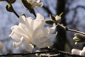Close Up of a Flowering Branch of Star Magnolia Tree by Darlyne A. Murawski
