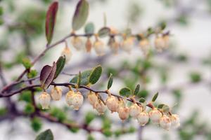 Close Up of a Flowering Leatherleaf Plant, Cassandre Calicule, Growing in a Highland Bog by Darlyne A. Murawski