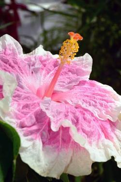 Close Up of a Large Hibiscus Flower, Edna Bogart Variety by Darlyne A. Murawski