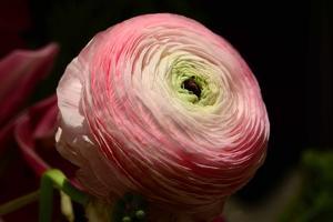 Close Up of a Large Pink Ranunculus Flower by Darlyne A. Murawski
