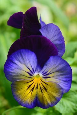 Close Up of a Pair of Pansy Flowers by Darlyne A. Murawski
