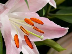 Close Up of a Pink Lily Flower, Lilium Species, in Springtime by Darlyne A. Murawski