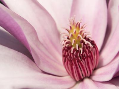 Close Up of a Pink Tulip Magnolia Flower, Magnolia Liliflora by Darlyne A. Murawski