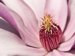 Close Up of a Pink Tulip Magnolia Flower, Magnolia Liliflora by Darlyne A. Murawski