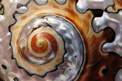 Close Up of a Polished Moon Snail Shell