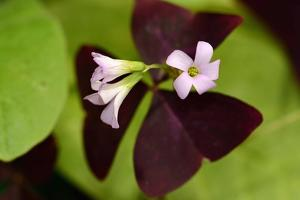 Close Up of a Purple Oxalis Plant in Bloom by Darlyne A. Murawski