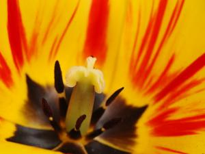 Close-Up of a Red and Yellow Tulip Flower Showing Stamens and Stigma, Winchester, Massachusetts by Darlyne A. Murawski