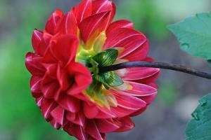 Close Up of a Red Dahlia Flower Leaning over after a Rain by Darlyne A. Murawski