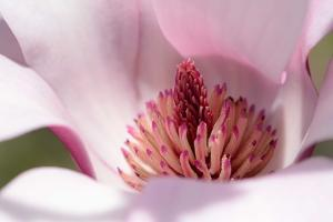 Close Up of a Saucer Magnolia Flower, Magnolia X Soulangeana by Darlyne A. Murawski