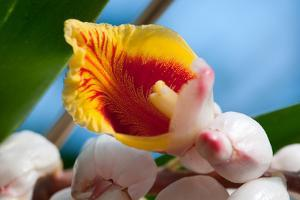 Close Up of a Shell Ginger Flower and Buds, Alpinia Speciosa by Darlyne A. Murawski