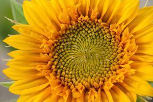 Close Up of a Sunflower, Helianthus Species by Darlyne A. Murawski