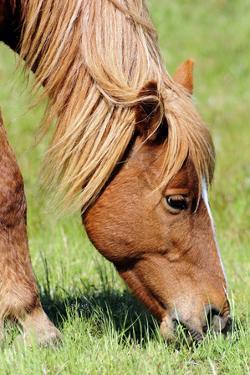 Close Up of a Wild Chincoteague Pony Grazing by Darlyne A. Murawski