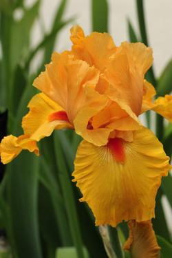 Close Up of an Orange Iris Flower, Iris Species by Darlyne A. Murawski