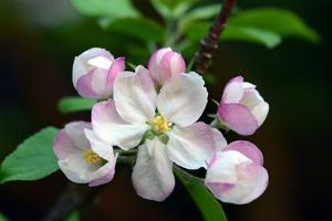 Close Up of Apple Flowers, Malus Species, in Cape Breton Highlands National Park by Darlyne A. Murawski
