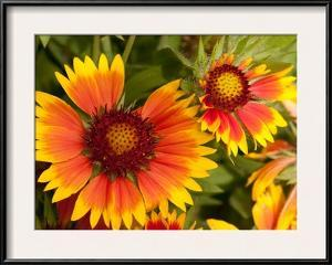 Close Up of Blanket Flowers, Gaillardia Species by Darlyne A. Murawski