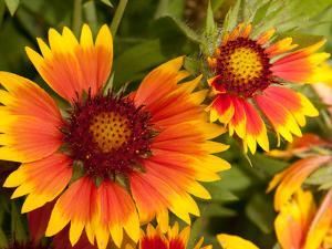 Close Up of Blanket Flowers, Gaillardia Species by Darlyne A. Murawski