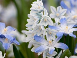 Close Up of Glory-Of-The-Snow Flowers, Chionodoxa Species by Darlyne A. Murawski