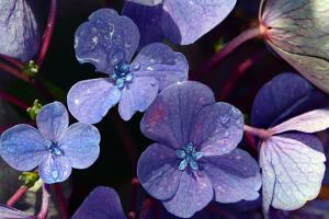 Close up of Hydrangea flowers in mid-August on Cape Cod. by Darlyne A. Murawski