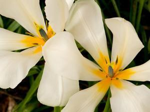 Close Up of Large White and Yellow Tulips in Springtime by Darlyne A. Murawski