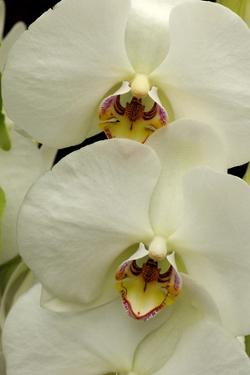Close Up of Large, White Phalaenopsis Orchids, Phalaenopsis Species by Darlyne A. Murawski