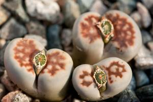 Close Up of Living Stone Plants, Lithops Species, with Fruit in their Centers by Darlyne A. Murawski