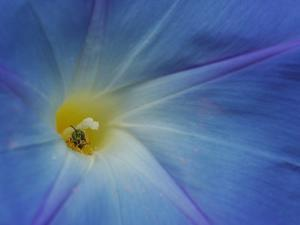 Close-Up of Morning Glory Flower with Small Bee, Arlington, Massachusetts, USA by Darlyne A. Murawski
