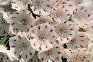 Close Up of Mountain Laurel Flowers, Kalmia Latifolia by Darlyne A. Murawski