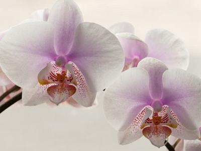 Close Up of Phalaenopsis Orchid Blossoms