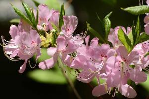 Close Up of Pink Azalea Flowers by Darlyne A. Murawski
