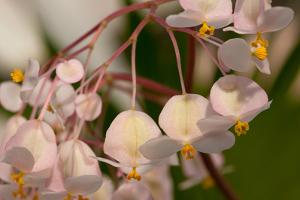 Close Up of Pink Begonia Flowers by Darlyne A. Murawski