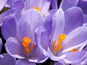 Close Up of Purple Crocus Flowers with Orange Pistil and Stamens by Darlyne A. Murawski
