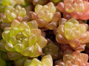 Close Up of Succulent Window Haworthia, Haworthia Cymbiformis by Darlyne A. Murawski