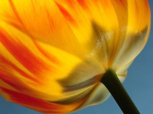 Close Up of the Base of a Colorful Tulip by Darlyne A. Murawski