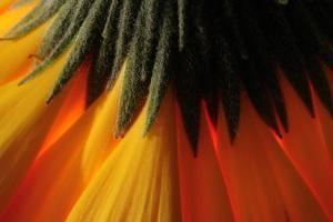 Close Up of the Base of a Yellow Gerbera Daisy, Gerbera Species by Darlyne A. Murawski