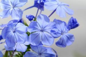 Close Up of the Blue Flowers of Pelargonium Carnosum, a Geraniaceae by Darlyne A. Murawski