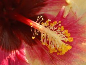 Close-Up of the Center of a Cultivated Hibiscus Flower, Belmont, Massachusetts, USA by Darlyne A. Murawski