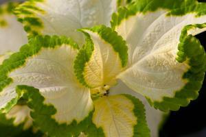 Close Up of the Top of a Green and White Coleus Plant, Solenostemon Scutellariodes by Darlyne A. Murawski