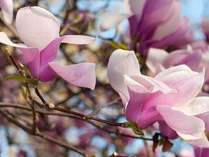 Close Up of Tulip Magnolia Flowers, Magnolia Liliflora, in Springtime by Darlyne A. Murawski