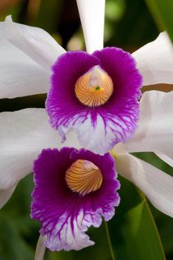 Close Up of Two Cattleya Orchid Flowers, Cattleya Species by Darlyne A. Murawski