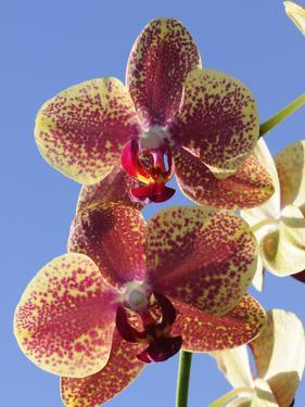 Close Up of Two Orchid Flowers, Phalaenopsis Species by Darlyne A. Murawski