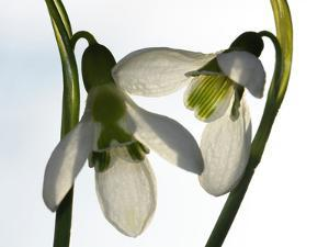 Close Up of Two Snowdrop Flowers, Galanthus Species by Darlyne A. Murawski