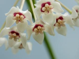 Close Up of White and Red Hoya Flowers by Darlyne A. Murawski